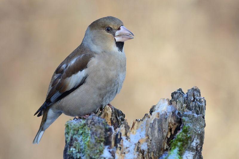птица,дубонос,самка,пень,зима Тётушка дубоносихаphoto preview