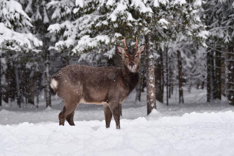зима,лес,олень в зимнем лесуphoto preview