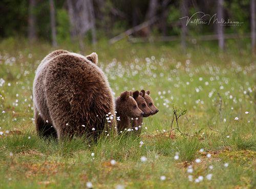 Из жизни медведей ...