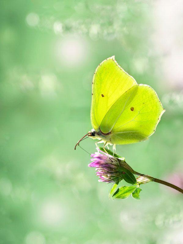 макро, бабочка, лимонница, крушинница, клевер, природа photo preview