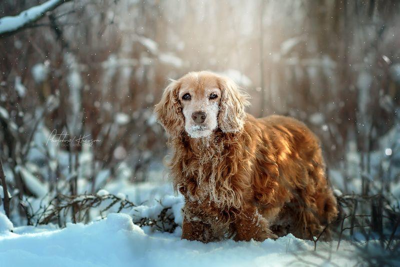 собака, анималистика, зима, лес, портрет, бордер колли, спаниель Зимаphoto preview