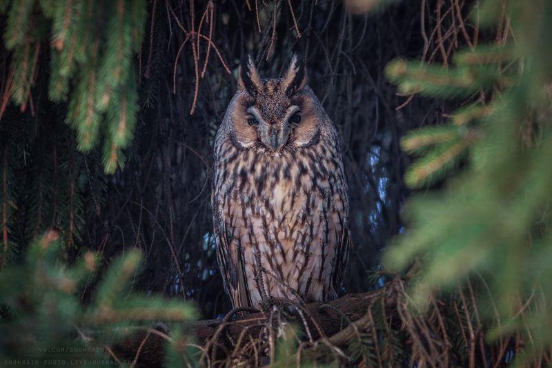 owl, wildlife, wildlife photography, анималистика, сова, фотоохота, birds, nature, птицы Ушастая соваphoto preview