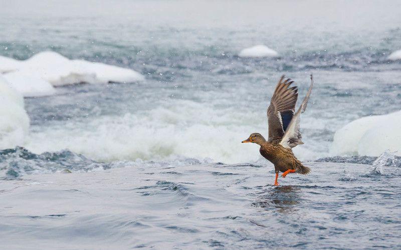 утка, кряква, река, упа, перекат, зима На зимнем перекатеphoto preview