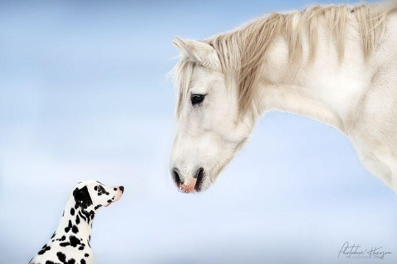 собака, лошадь, анималистика, зима, поле, портрет, далматин, пони Друзьяphoto preview