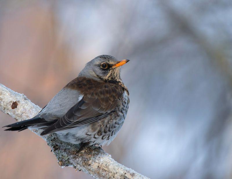птицы,природа,зима, Скоро весна.photo preview