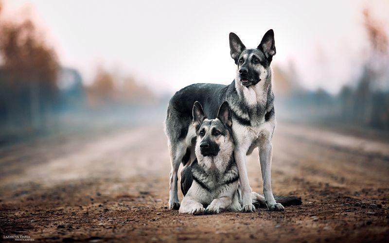 собака, природа, поле, овчарка Под маминой защитойphoto preview