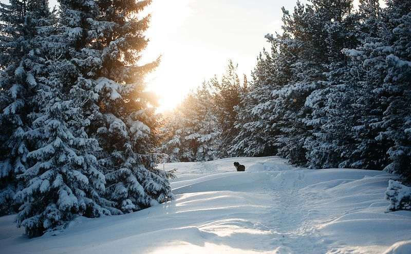 россия, зима, январь, снег, урал, лес, природа, собака, солнце photo preview