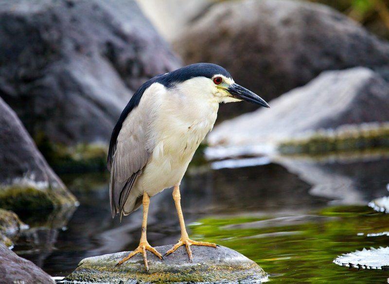 птицы , кваква , цапли философphoto preview