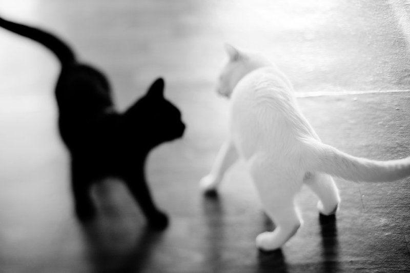 кошки Черная кошка - Белый котphoto preview