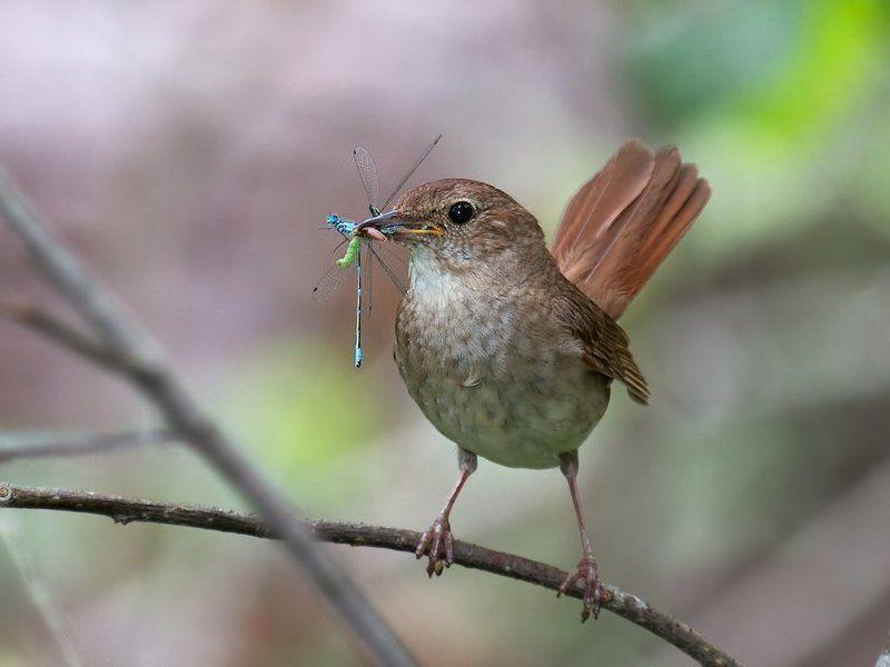 фотоохота , птицы , соловей Соловьиные заботыphoto preview