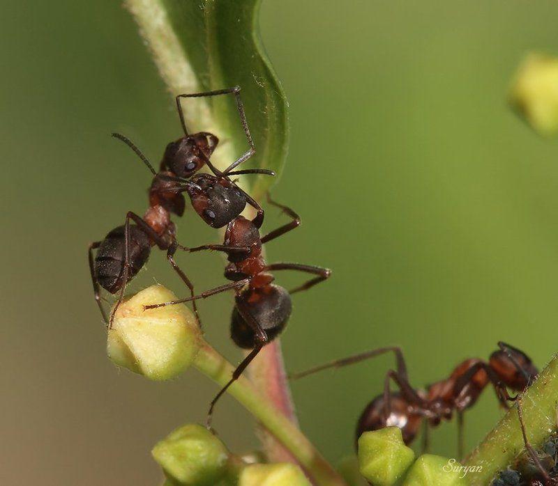 лето, трава, муравьи Муравьи живут семьёй. Как их много, ой-ёй-ёйphoto preview