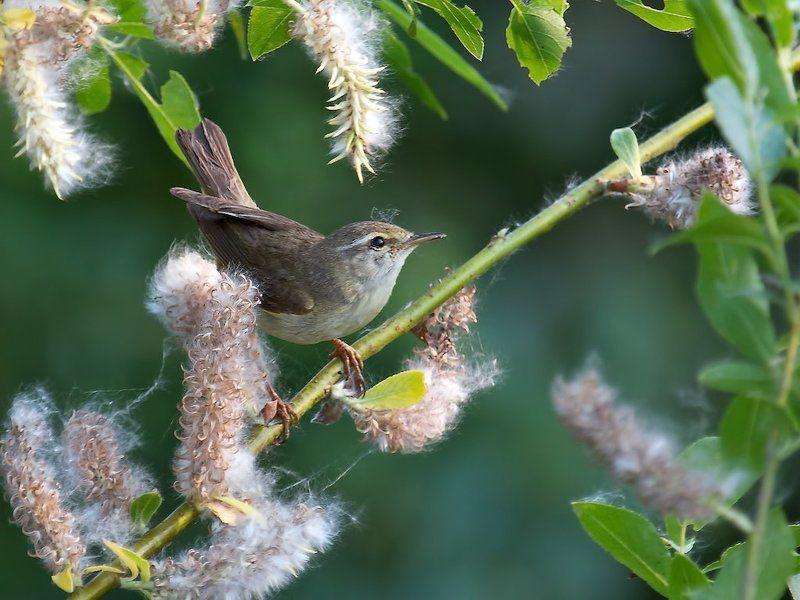 птицы , пеночка-весничка , фотоохота Пушинкиphoto preview