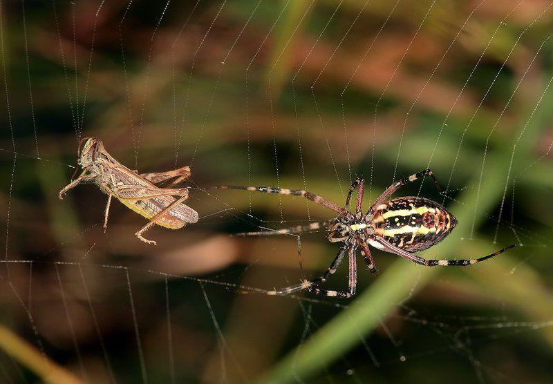 лето, трава, паук, агриопа Вот сейчас я вас настигну и тогда мы похохочем...photo preview