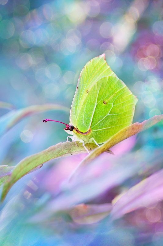 макро, бабочка, боке, лимонница, крушинница  photo preview