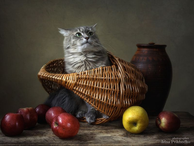 домашние животные, кошка Масяня, котонатюрморт, фрукты, корзина , яблоки Изгоняющая яблокиphoto preview