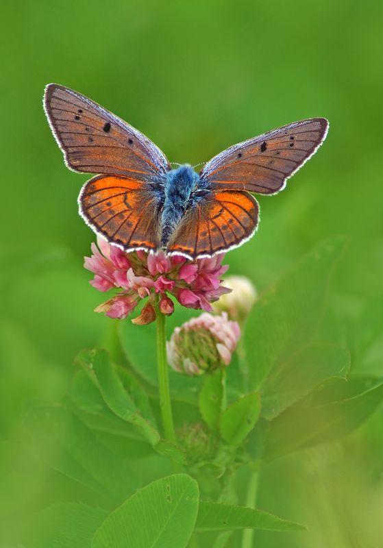 Бабочка Червонец фиолетовый Червонец фиолетовыйphoto preview
