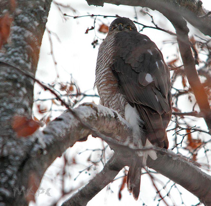 животные, птицы, , хищник, сокол-перепелятник, зима Взгляд Ястребаphoto preview