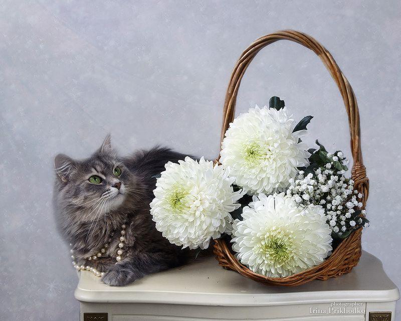 натюраморт, цветочный натюрморт, кошка Масяня, зимний букет, белые хризантемы, домашние животные Масяня с белыми хризантемамиphoto preview