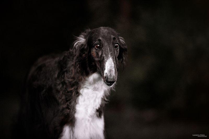 собака, природа, лес, русская псовая борзая, рпб Русская псовая борзаяphoto preview