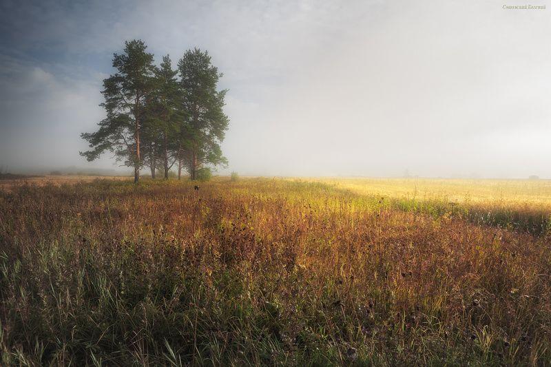 туман, поле, утро, лето, сосны, пшеница, рожь. Русское полеphoto preview