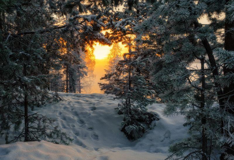 утро,сосны,солнце,свет,снег,пейзаж,природа Утро сосновоеphoto preview