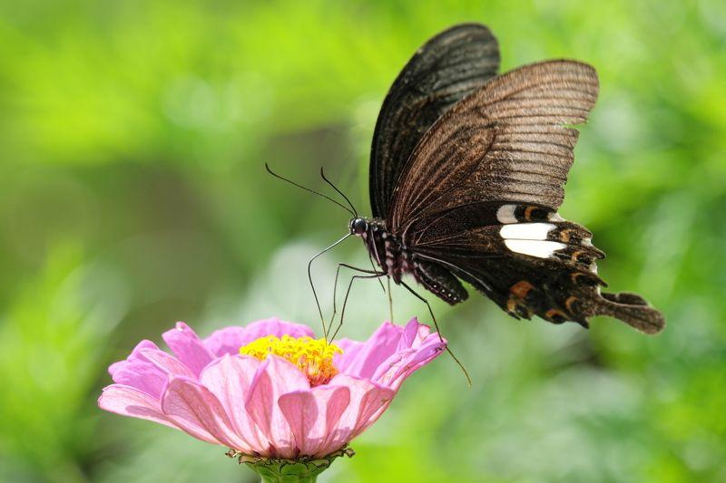 бабочка, непал, гималаи, butterly, nepal, himalayas Гималайская бабочкаphoto preview