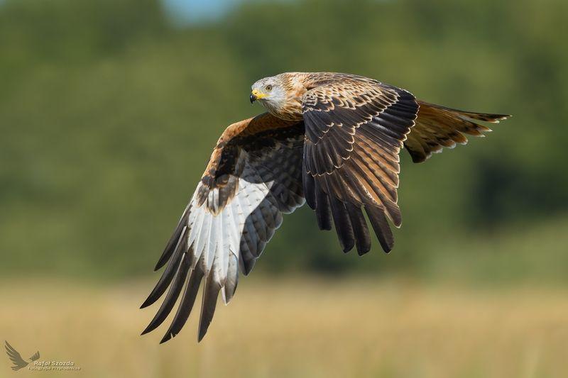 red kite, birds, nature, animals, wildlife, colors, meadow, flight, raptors, green, sunlight, lens, nikon, nikkor, lubuskie, poland Kania Ruda, Red Kite (Milvus milvus) ...photo preview