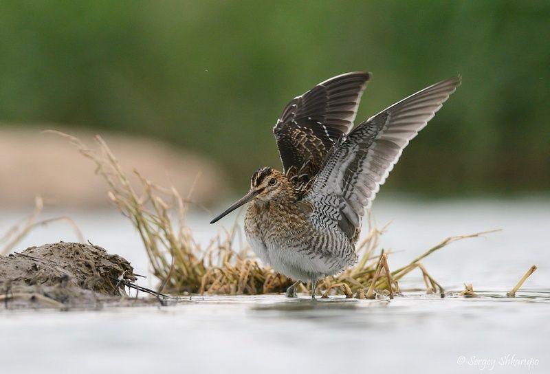 бекас, птицы, крым, birds, wildlife Бекас и крыльяphoto preview