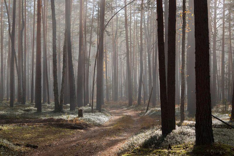 лес сосны бор туман Сосновый лесphoto preview