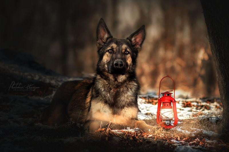 собака, анималистика, зима, лес, портрет, щенок, немецкая овчарка В лесуphoto preview