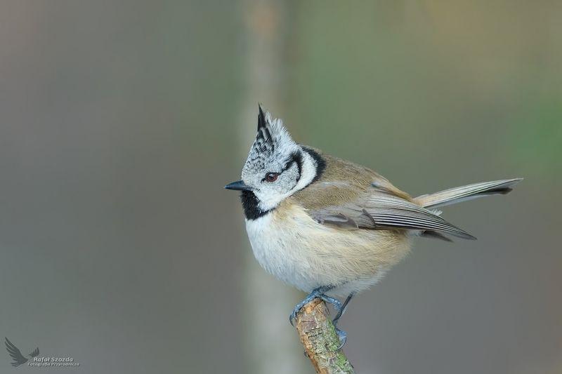 birds, nature, animals, wildlife, tree, forest, green, winter, lubuskie, poland, nikon Czubatka, Crested Tit  (Lophophanes cristatus) ... 2019rphoto preview