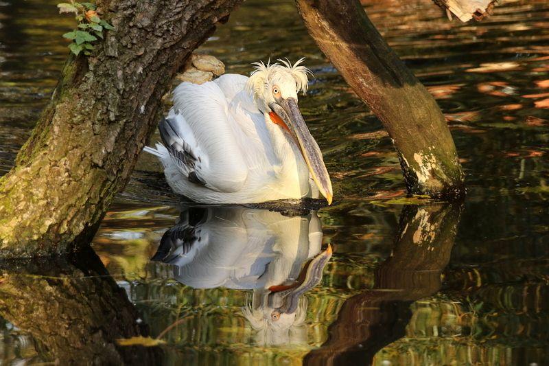животные, пеликан, пруд, вода, отражение Пеликан на прудуphoto preview