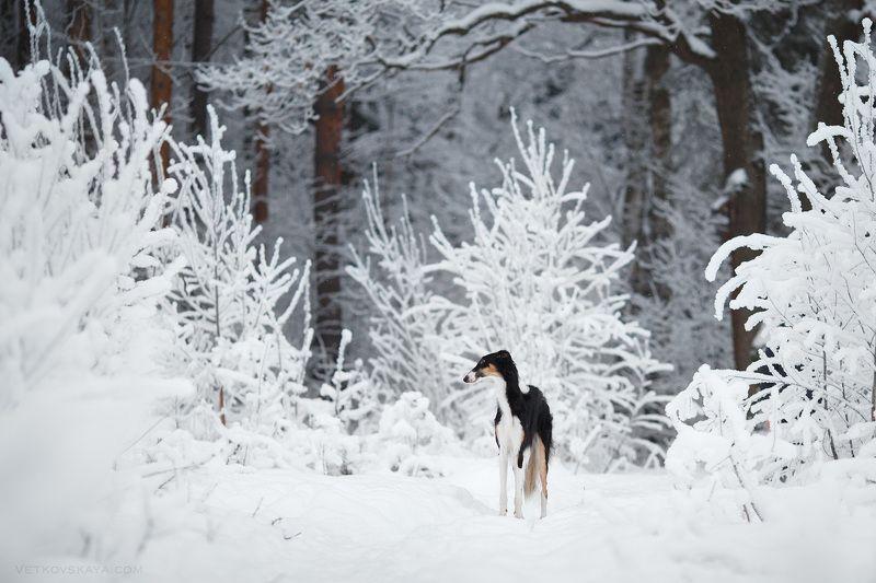 собака, лес, снегопад, поле, борзая, русская псовая, зима После снегопадаphoto preview