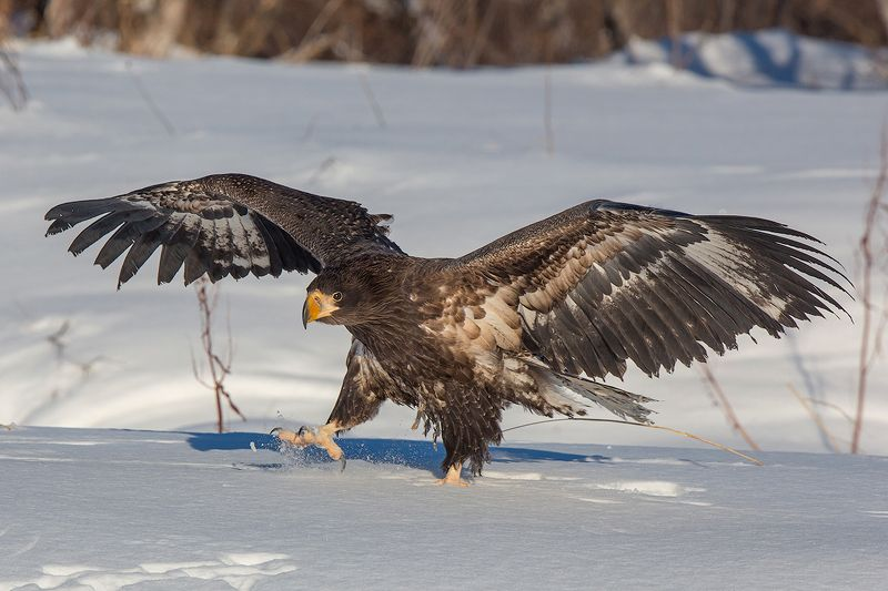 камчатка, зима, орел, орлан, природа, путешествие, фототур, птицы Широко шагаяphoto preview