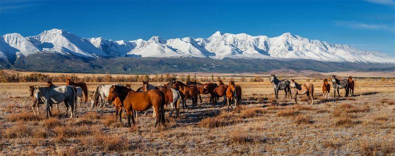 природа, пейзаж, горы, алтай, горный алтай, сибирь, курай, осень, лошади, животные, дикая природа, Алтайские мустангиphoto preview