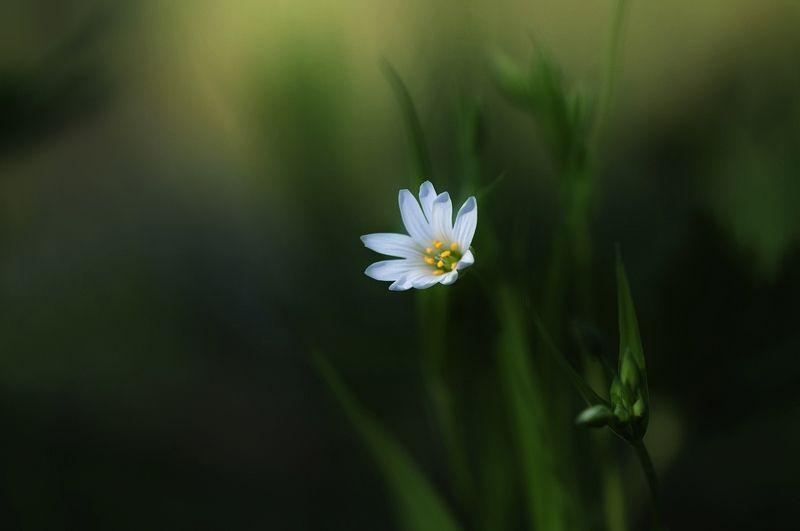 макро,природа,звездчатка ...photo preview