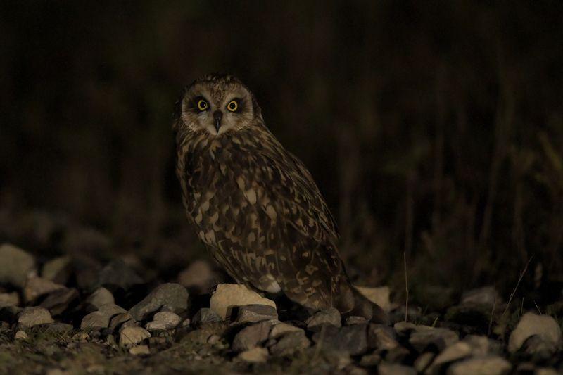 ночь Болотная сова и ночьphoto preview