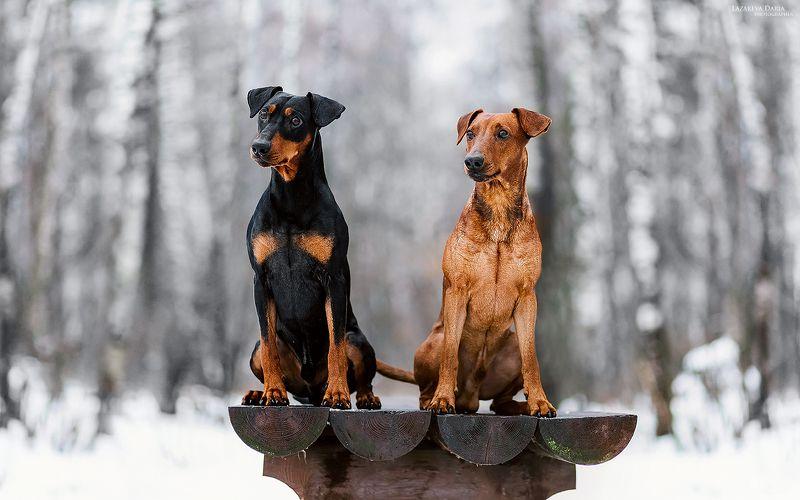 собака, природа, лес, немецкие пинчеры, зима Немецкие пинчерыphoto preview