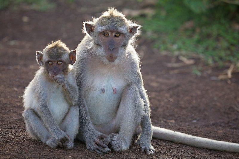 звери , обезьяны , бали Мы сами не местные...photo preview