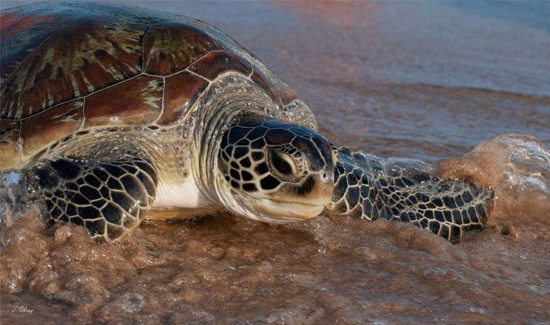 морская, черепаха photo preview