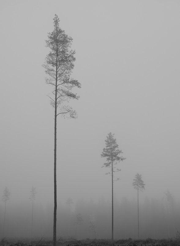 туман, сосна, осень Про перспективыphoto preview