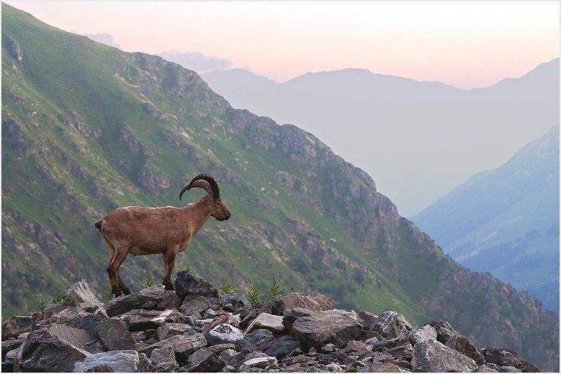 тур, кавказ, горы, утро, животное, баран, архыз Утренний гостьphoto preview