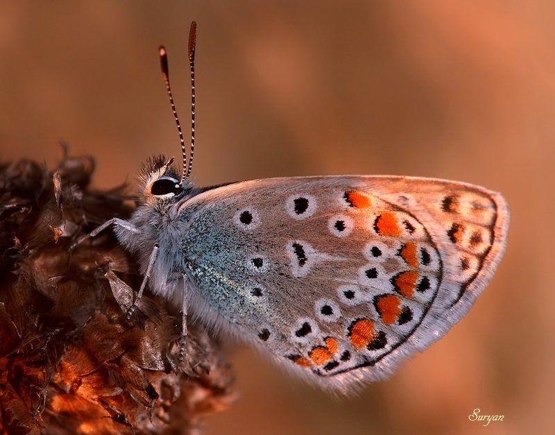 лето, баббочка, голубянка Плохо мне без неё..photo preview