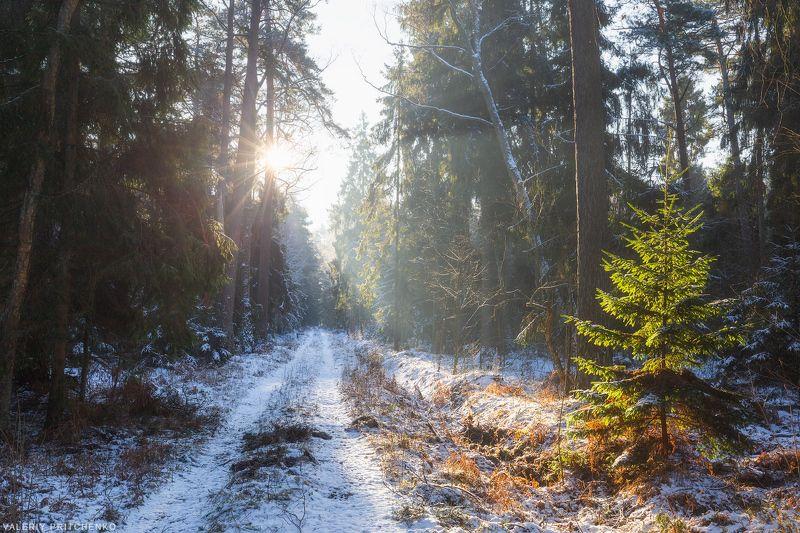 природа, зима, лес, Куршская коса В лесу Куршской косы.photo preview