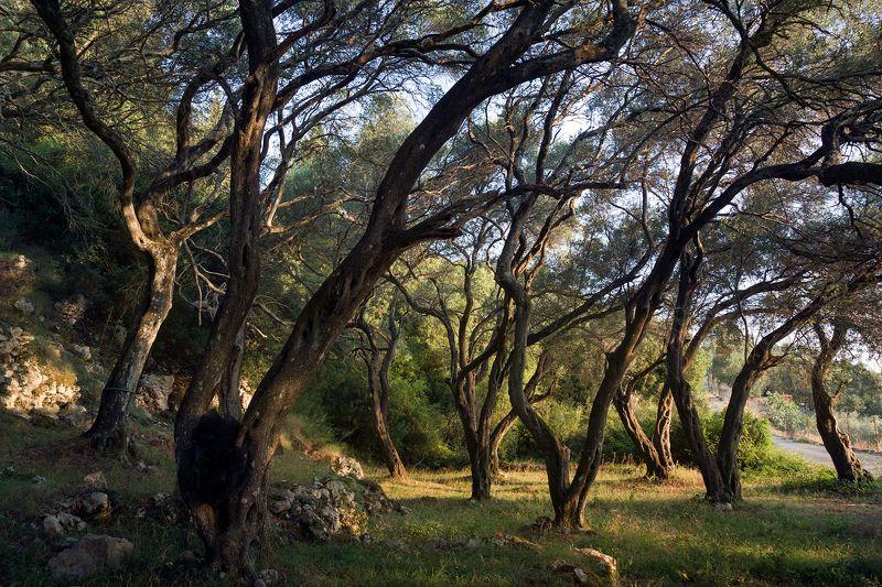 Оливы и кипарисыphoto preview