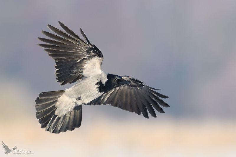 birds, nature, animals, wildlife, colors, meadow, winter, flight, sunlight, nikon, nikkor, lens, lubuskie Wrona siwa, Hooded Crow (Corvus cornix) ... 2019rphoto preview