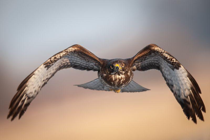 buzzard, hawk, wildlife, birds, Common buzzard (Buteo buteo)photo preview