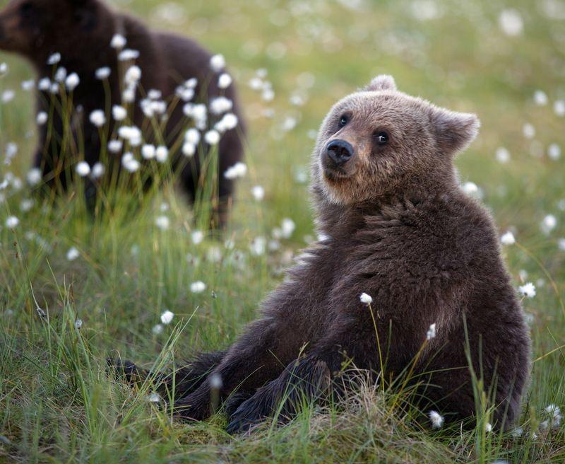 медвежата..дикая, природа., медвежья, семейка., карельский, медведь Медвежий мирphoto preview