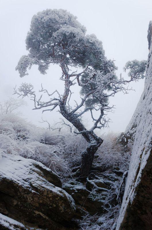 сарыкумские барханы, дагестанский заповедник, сосна, кривое дерево, иней, мороз, пронизывающий ветер, холод, январь, глубой, сумерки, зима, nikon d7000, nikkor 18-300 Проклятая колдуньяphoto preview