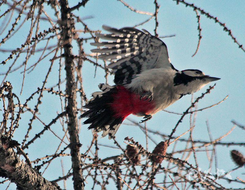 животные птицы зима птица большой пестрый дятел Большой пестрыйphoto preview